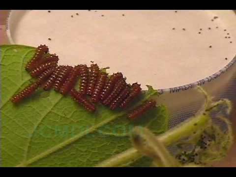 Swallowtail Butterfly Life Cycle - (Pipevine Swallowtail) V00608