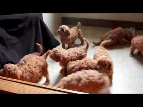Red Cavapoo Puppies For Sale!