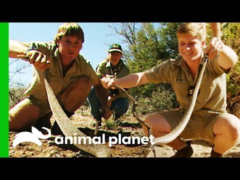 Robert Irwin Wrangles His First Ever Wild Rattlesnake | Crikey! It's The Irwins