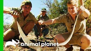 Robert Irwin Wrangles His First Ever Wild Rattlesnake | Crikey! It's The Irwins