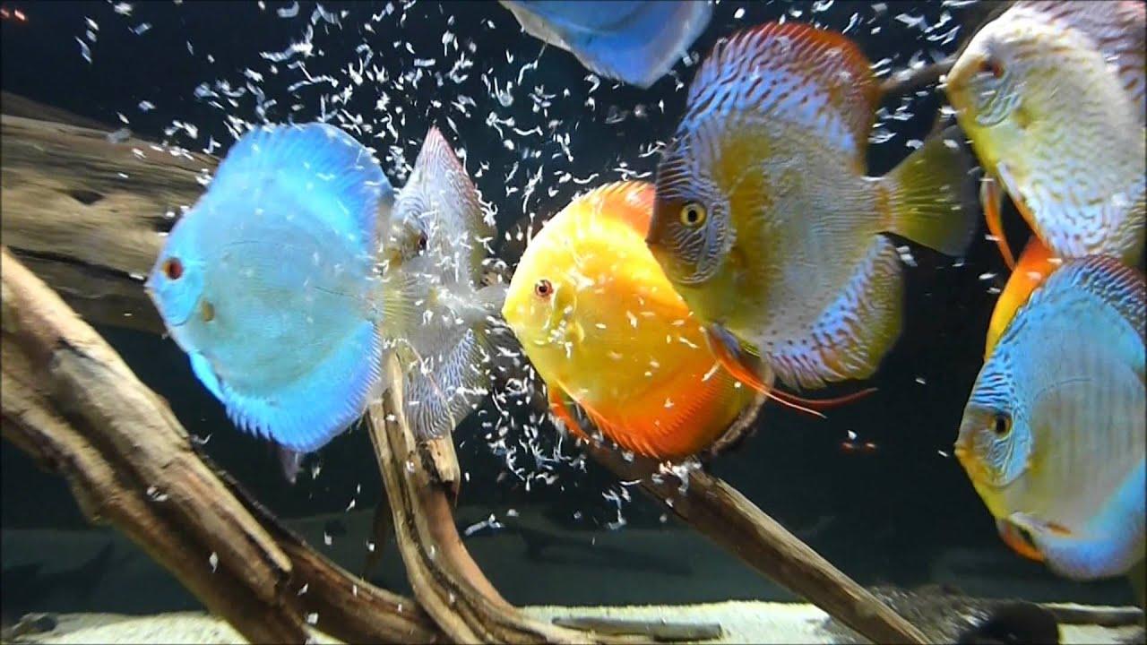 Fish Tank Wallpaper Hd Discus Tank 2012 Youtube