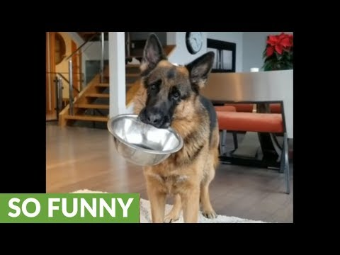 German Shepherd head tilts for more food