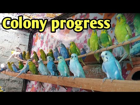 Australian parrots & Fischer aviary progress - Budgies bird