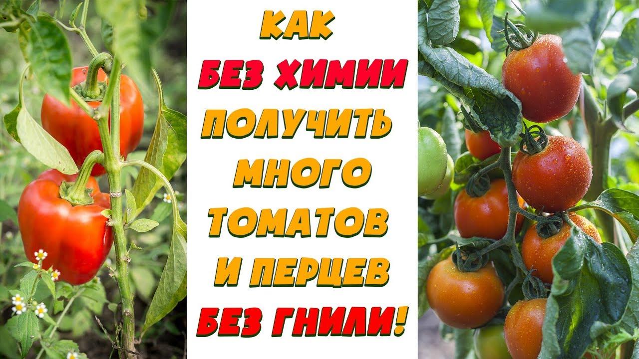 Как БЕЗ ХИМИИ получить много томатов и перцев БЕЗ ГНИЛИ!