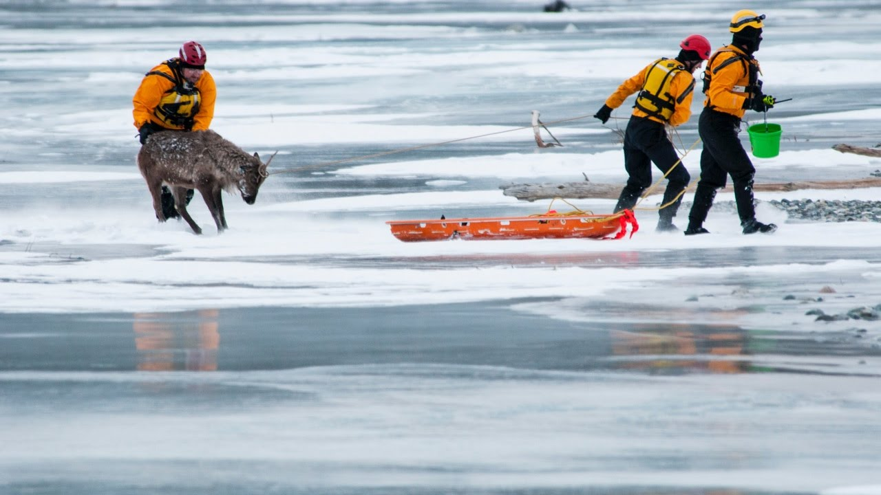 Mat Su Borough Rescues Reindeer Off River Ice Youtube