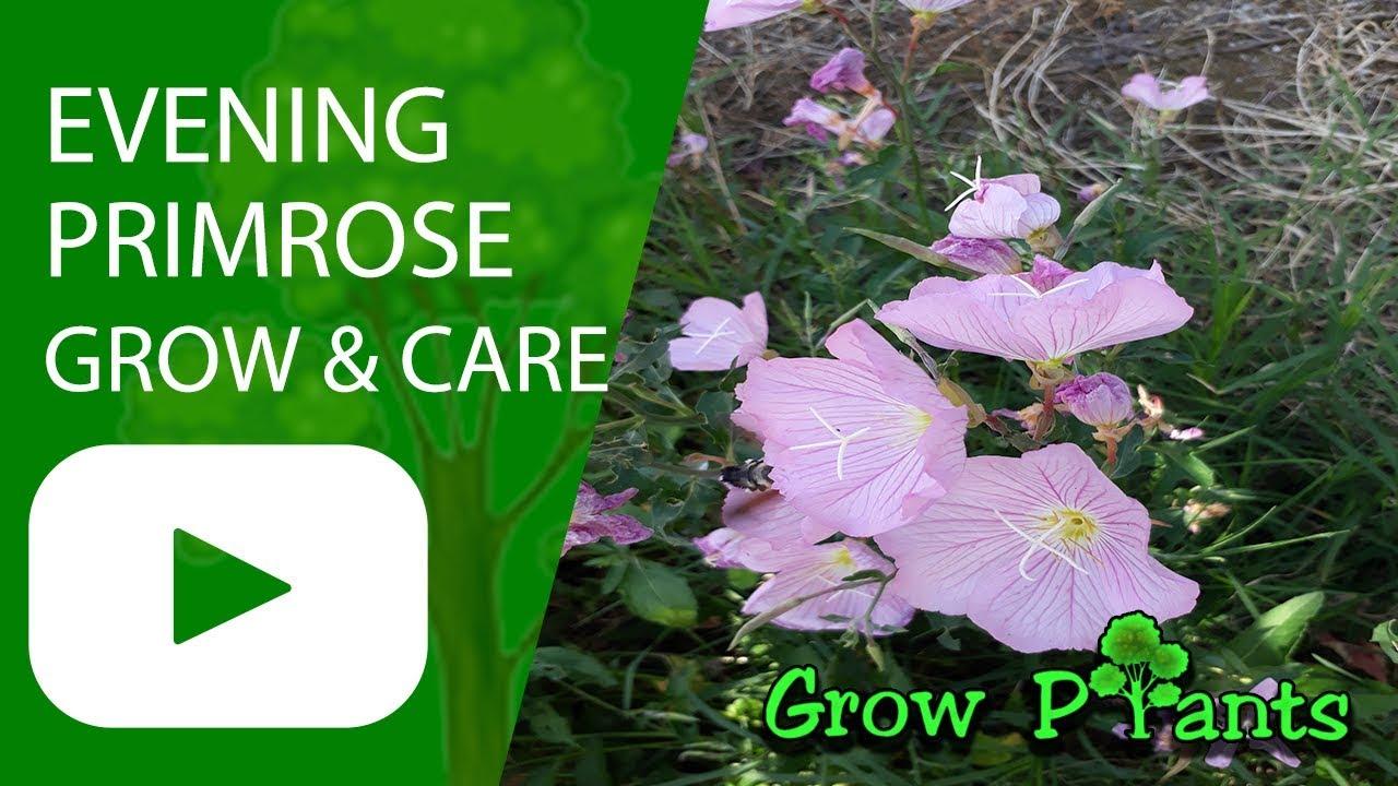 Evening primrose grow and care youtube evening primrose grow and care izmirmasajfo Images