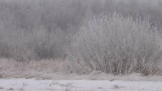 Белые куропатки прилетели на юг... Тюменской области