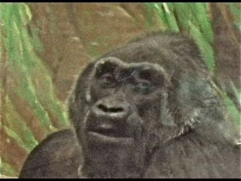 colo-59-birthday-world's-oldest,-guinness,-gorilla-&-first-born-guinness-world-records-book