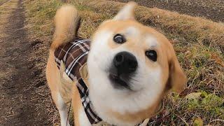 柴犬タロウと家族の日記。 雪が降りました。ホワイトクリスマスにはちょっと足りない。 #ShibaInu #柴犬.