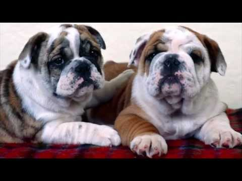 Pet-View: BullDog - HD SlideShow / Foot-Tappers