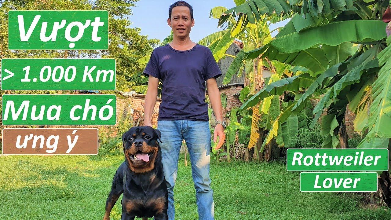 Vượt 1000km đến Gervi Hà Nội mua chó Rottweiler|Puppy Kasper go new home with owner