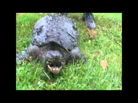 how to cook snapping turtle
