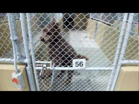 Gypsy labradoodle in lock up, jumps for joy before her dog walks!