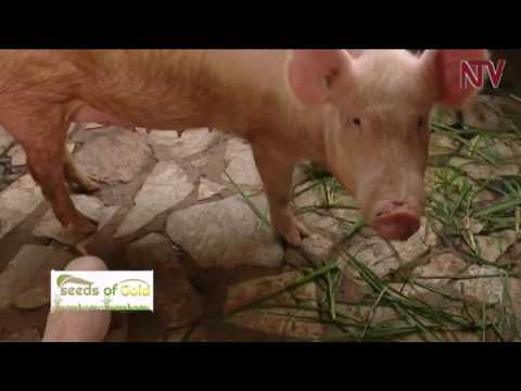 Seeds of Gold: Managing a piggery