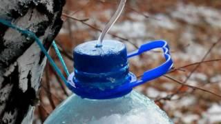 Как собирать берёзовый сок минимально травмируя дерево