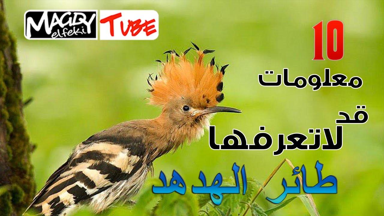 10 معلومات قد لا تعرفها عن طائر الهدهد Youtube
