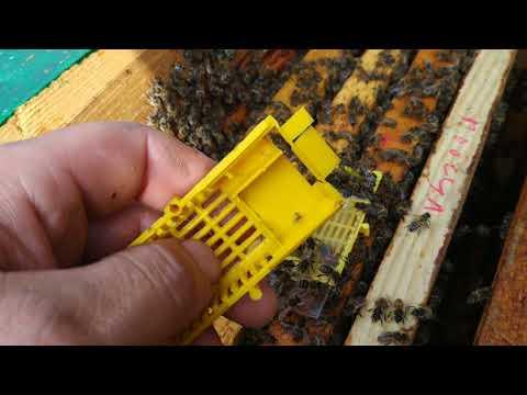 Як подсадить плодну  пчеломатку способ №1