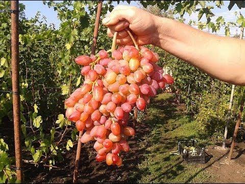 Сорта Винограда. Гелиос. Виноград 2015.