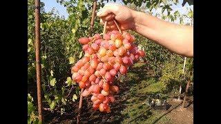 Сорт Винограда Гелиос. Виноград 2015.
