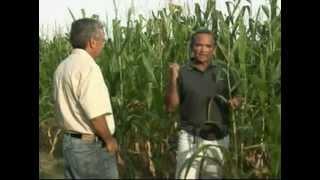 Milho verde é excelente negócio para agricultores piauienses; confira dicas