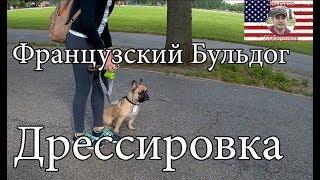 French Bulldog -  Obedience Training/ Дрессировка Французского Бульдога послушанию