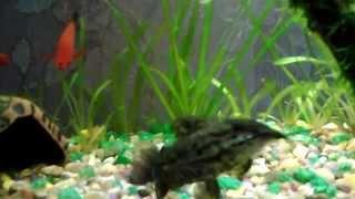 аквариумные рыбки.меценосцы,гуппи,сомики.