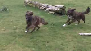 Ada & Bella On The Run At A & B Dogs Boarding & Training Kennels.
