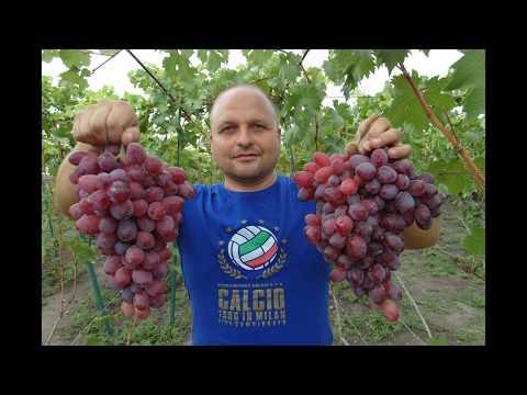 Видео Виноград вишневецкого подарок ирине