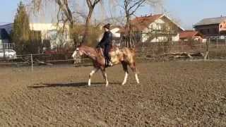 Young horse starting under saddle - walk-gallop in 5 days