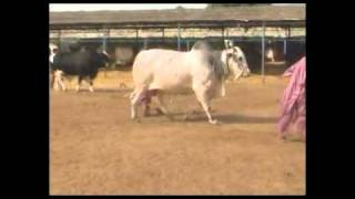 king of balochistan - bull for eid 2011 by shah cattle farm