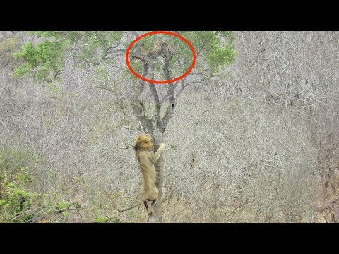 Lion Tries Stealing Food from Leopard