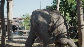The story of broken leg elephant Chana