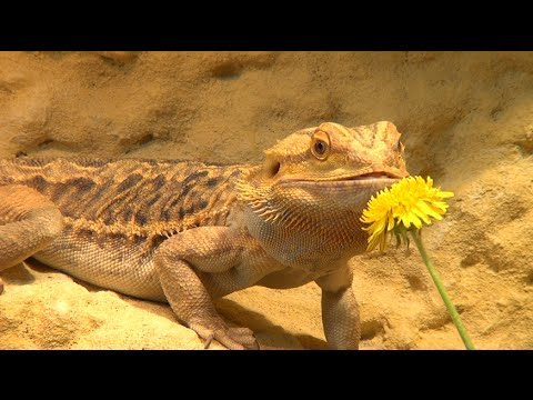 how to know if a bearded dragon is dehydrated
