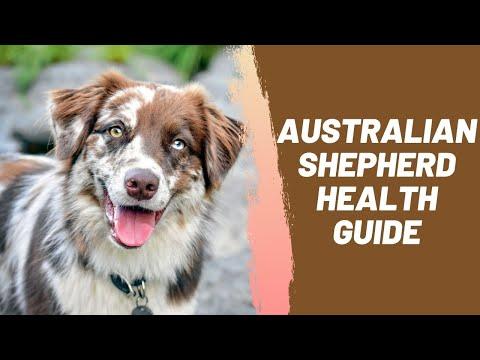 Australian Shepherd Health Guide