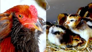 CHICKEN BREEDS E26: Araucana chickens rooster and young chicks, Araucana Hühner Grünleger