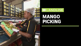 Mango growers look to seasonal pickers from Vanuatu as COVID-19 produces worker shortage | Landline