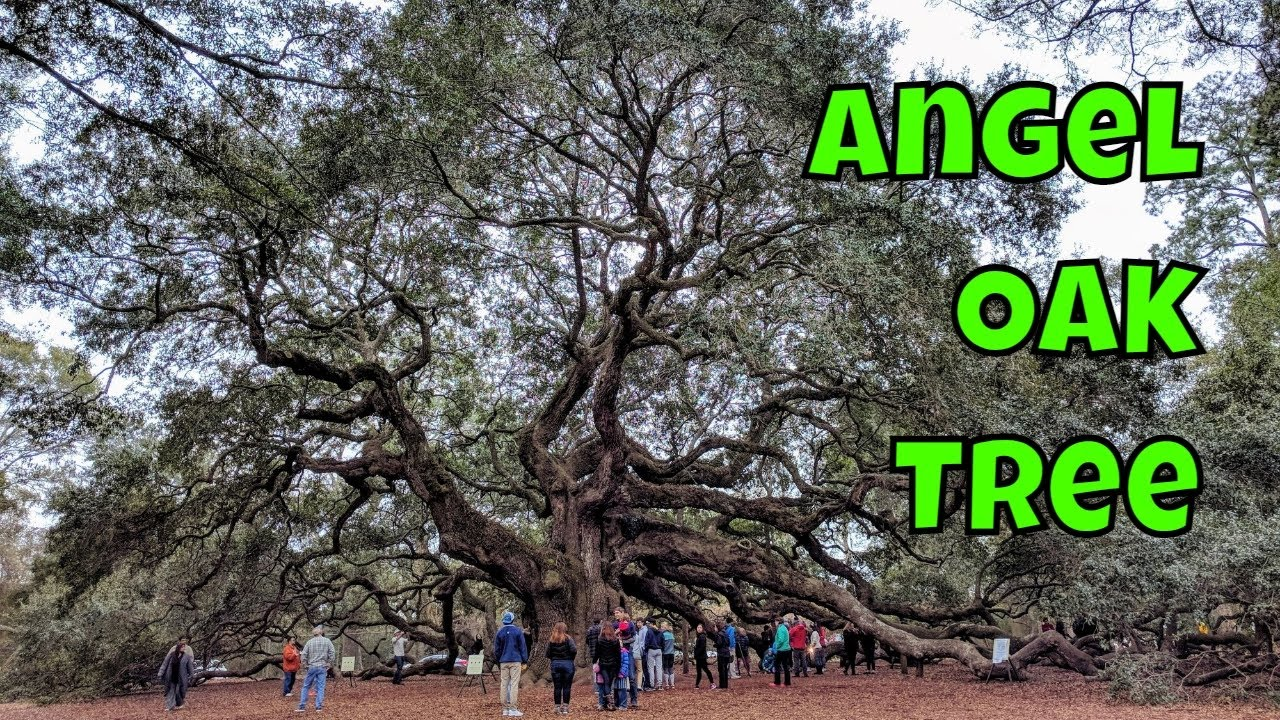 Angel Oak Tree, Oldest Oak Tree East of the Mississippi - Charleston, South  Carolina