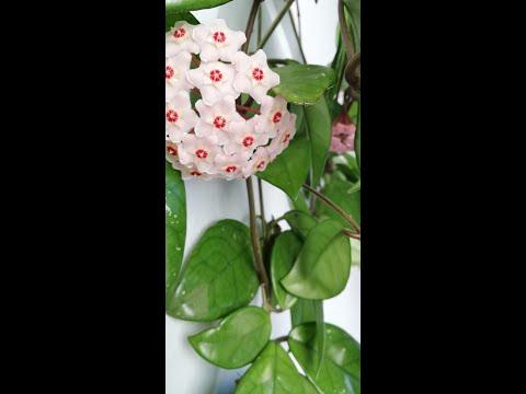 Mum çiçeği çoğaltma ve gelişimi
