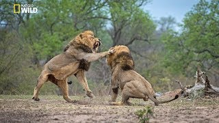 African Lions | National Geographic Documentary