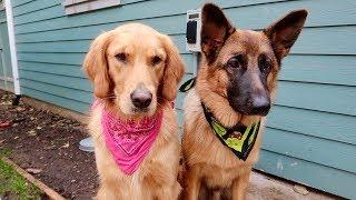 Sammie's First Time at DOG PARK! Golden Retriever Vlog
