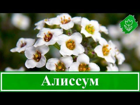 Цветы алиссум – посадка и уход в открытом грунте, выращивание алиссума из семян