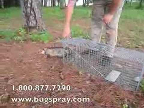 Live opossum released from live trap