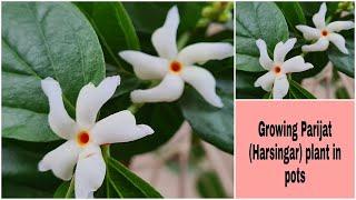 Growing Parijat In Pots | Harsingar Plant In Pots