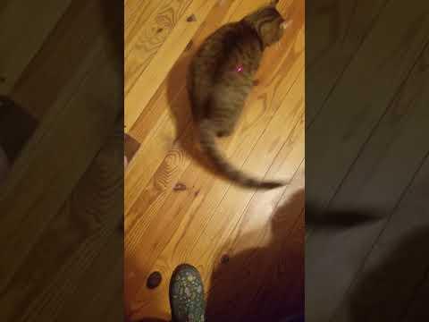 highland lynx Dexter