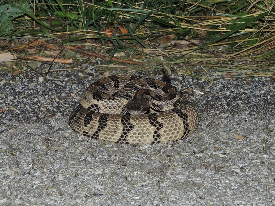 how to stop rattle snakes