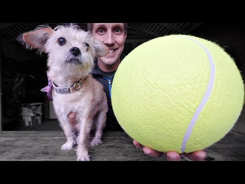 Rescue Dog Meets GIANT Tennis ...