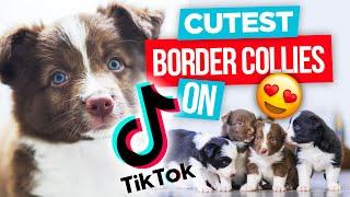 The CUTEST Border Collies on TikTok 2021 | Funny Border Collies on TikTok