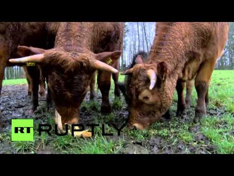 Germany: Meet Banana – the affable wild boar adopted by COWS