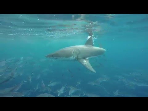 Shark Cage Diving with Great White Sharks - Calypso Star Charters