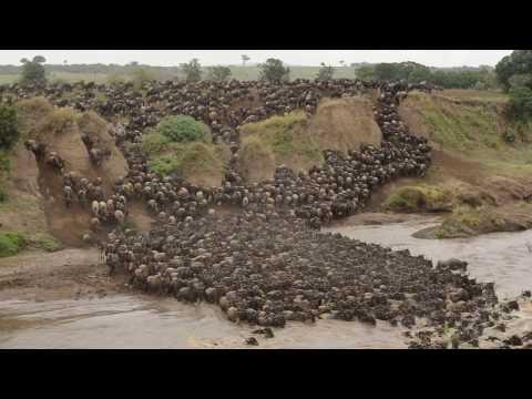 Wildebeest crossing Mara River at Entim Camp